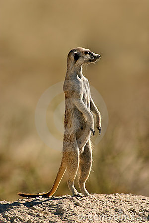 Free Meerkat On Guard Royalty Free Stock Images - 21300549