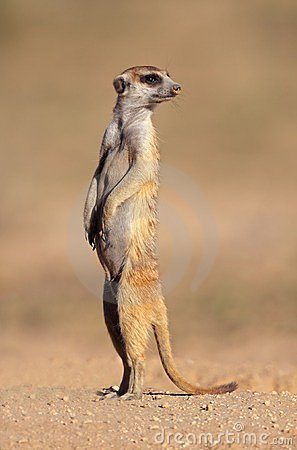 Free Meerkat On Guard Stock Photography - 23781272