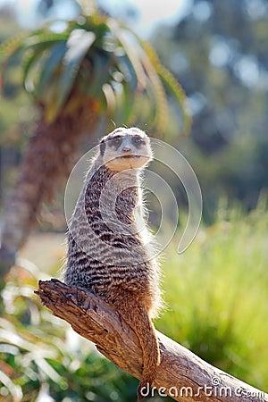 Free Meerkat On Log Stock Photos - 2393483