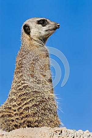 Free Meerkat Or Suricate Stock Images - 5093944