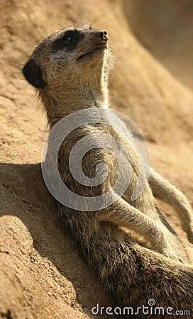 Meerkat resting on a rock