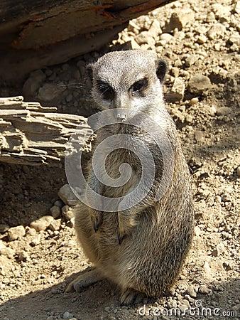 Meerkat in the Sand