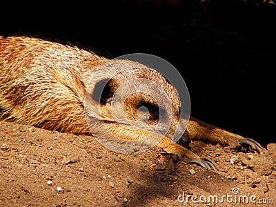 Meerkat on sand