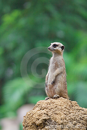 Meerkat sits on the mound