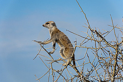 Meerkat sitting in a tree