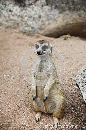 Meerkat stand on sand