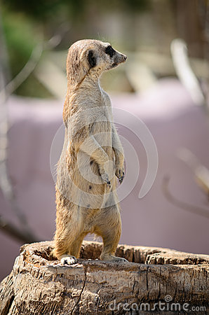 Meerkat stand vigilant on trunk
