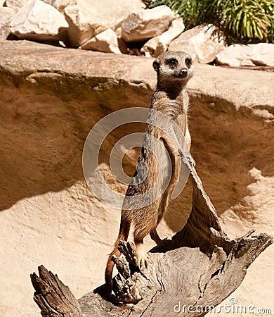 Meerkat standing on log