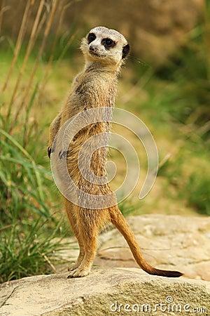 Meerkat standing upright