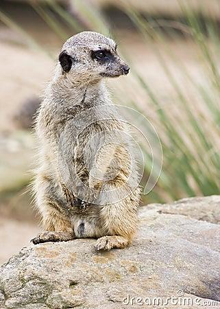 A meerkat standing upright