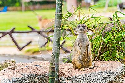 Meerkat standing upright.
