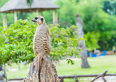 A meerkat standing upright and looking alert.