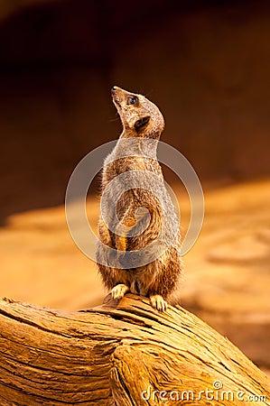 Meerkat Stands Upright