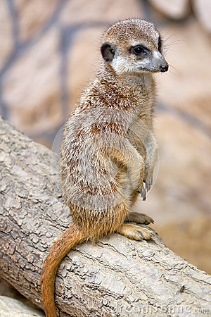 Meerkat stående