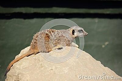 Meerkat on a stone  (Suricata suricatta)