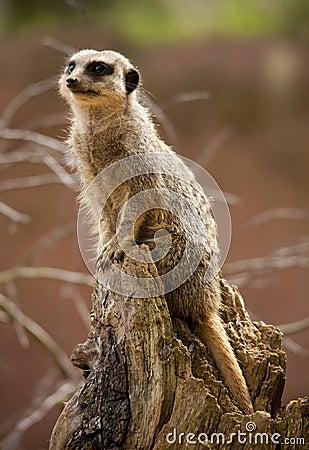 Meerkat in the sun