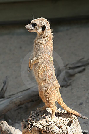 Free Meerkat (Suricata Suricatta) Stock Image - 1077241