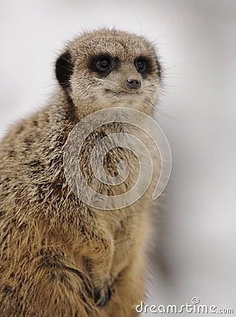 Free Meerkat (Suricata Suricatta) Royalty Free Stock Images - 18056939