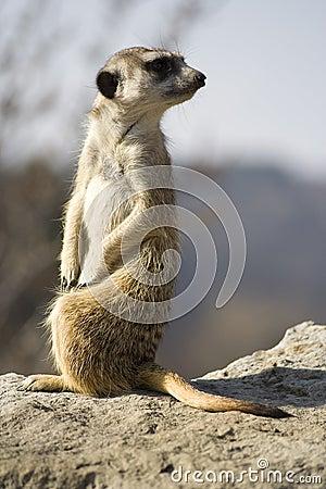 Free Meerkat (Suricata Suricatta) Royalty Free Stock Image - 4427096