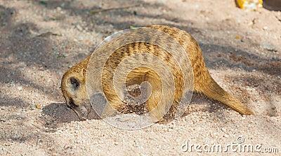 The meerkat (Suricata suricatta) is digging