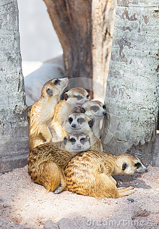 The meerkat (Suricata suricatta) family