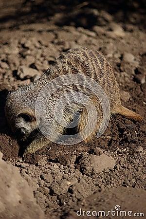 Meerkat (Suricata suricatta) on foraging