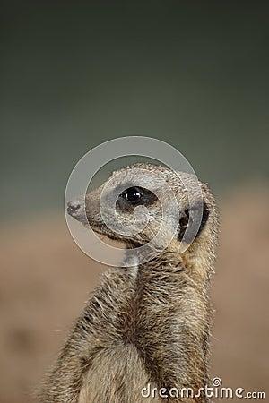 Meerkat (Suricata suricatta) looks around