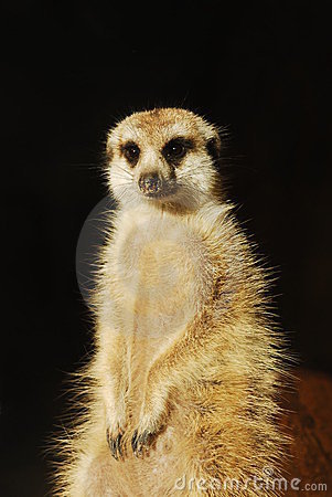 Meerkat (Suricata suricatta) portrait isolated