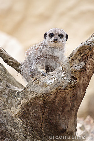 Meerkat (Suricate) on a branch