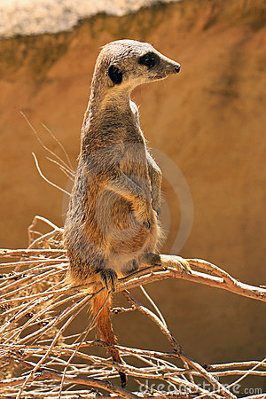 Meerkat (Suricate) standing upright as Sentry
