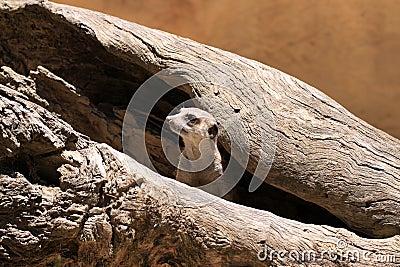 Meerkat Suricate - Suricata Suricatta