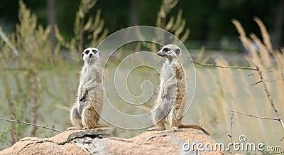Meerkat or suricate (Suricata, suricatta)