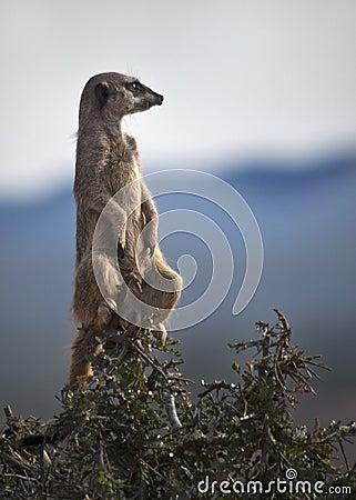 Meerkat on a Tree