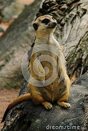 Meerkat van aard