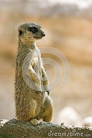 Meerkat watching territory