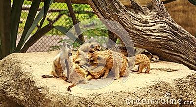 Meerkat Wildlife