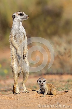 Free Meerkat With Baby Royalty Free Stock Images - 30632919