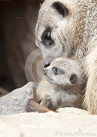 Free Meerkat With  Young Royalty Free Stock Image - 39091706