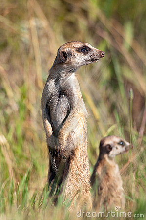 Meerkat with youngster
