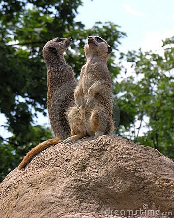 Free Meerkats Royalty Free Stock Photo - 4793105
