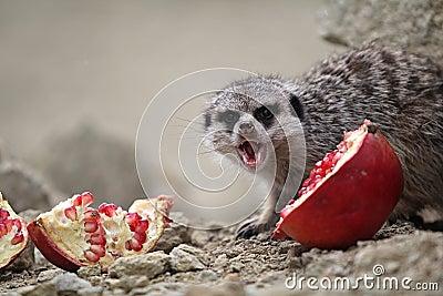 Meerkats eat