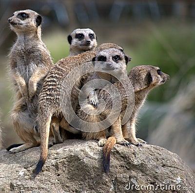 Free Meerkats Family Royalty Free Stock Photography - 14723907