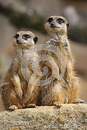 Meerkats on lookout
