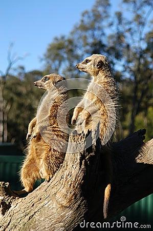 Meerkats on the lookout