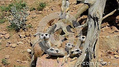 Meerkats no protetor vídeos de arquivo