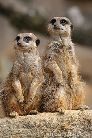 Free Meerkats On Lookout Royalty Free Stock Photography - 1235887