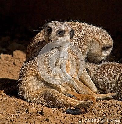 Free Meerkats Relaxing Stock Photography - 794322