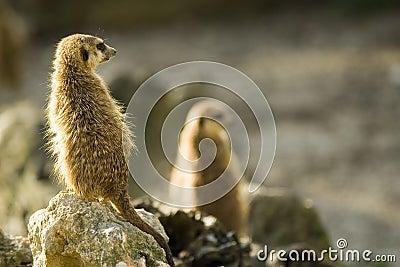 Meerkats on rocks