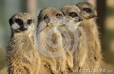 Meerkats in a row