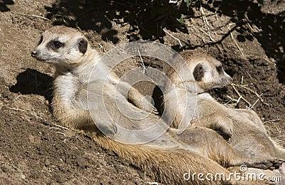 Meerkats Sunning